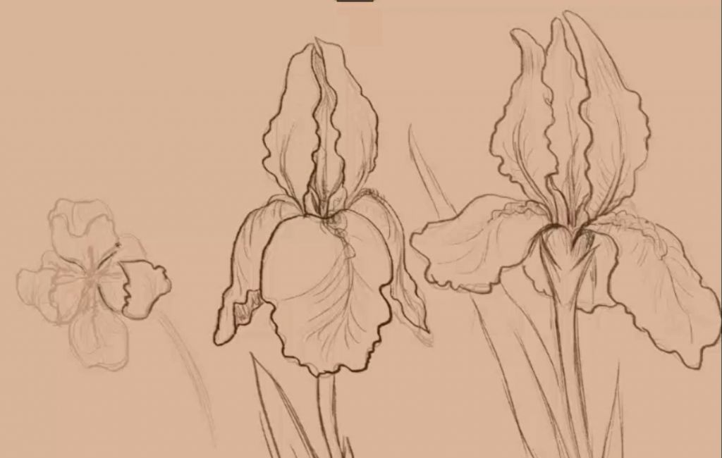 How to draw, art lesson, how to draw irises, how to draw step by step