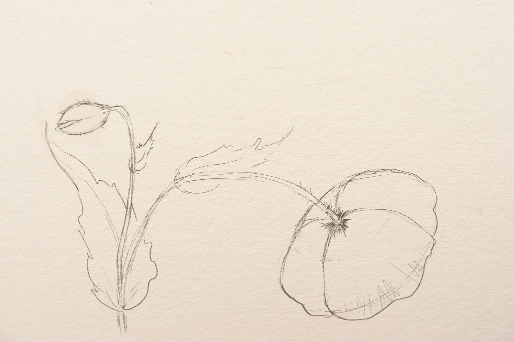 how to drw poppies, art lesson, how to draw flowers