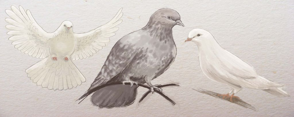 how to draw a bird, how to draw a pigeon, to paint dove step by step