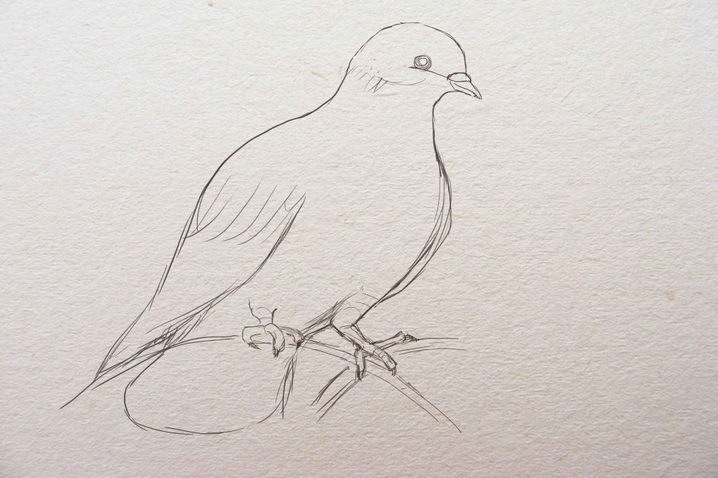 how to draw a dove, how to draw a pigeon, to draw a bitd step by step